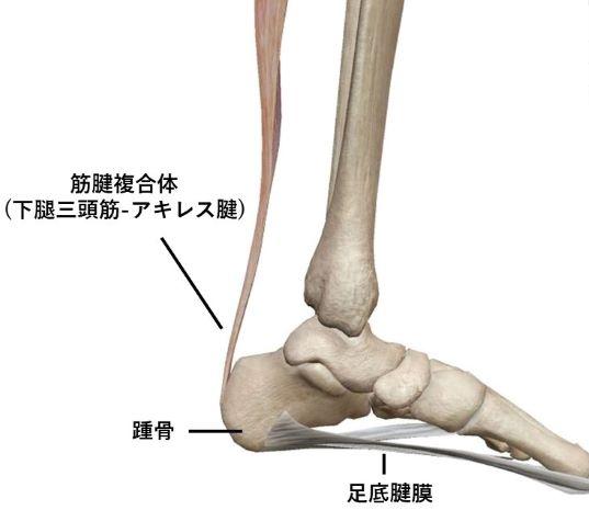 足底腱膜と筋腱複合体連結のイラスト