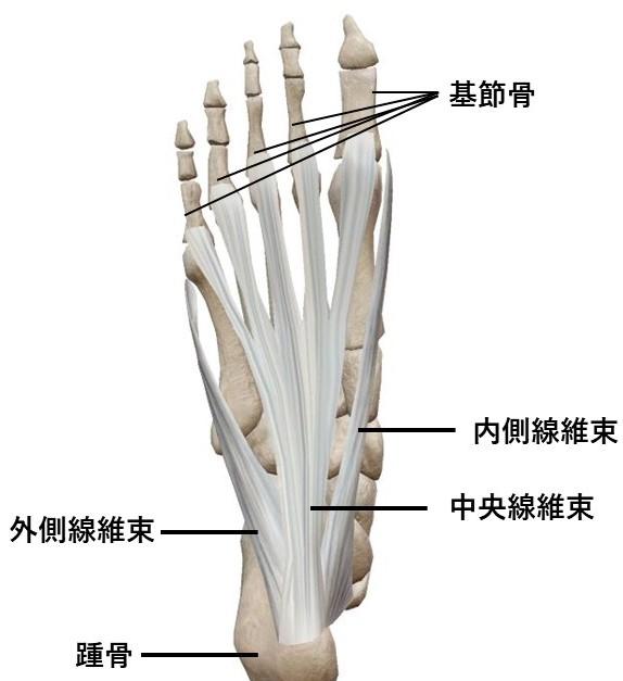 足底腱膜の解剖イラスト