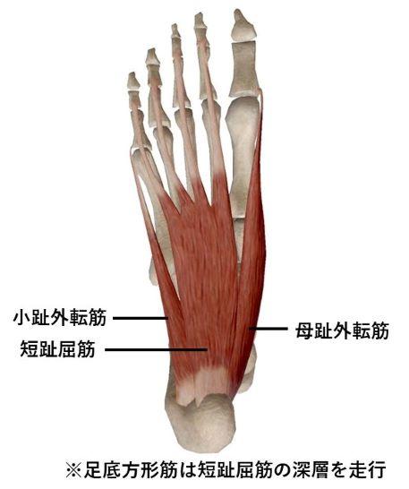 足部深層筋群のイラスト