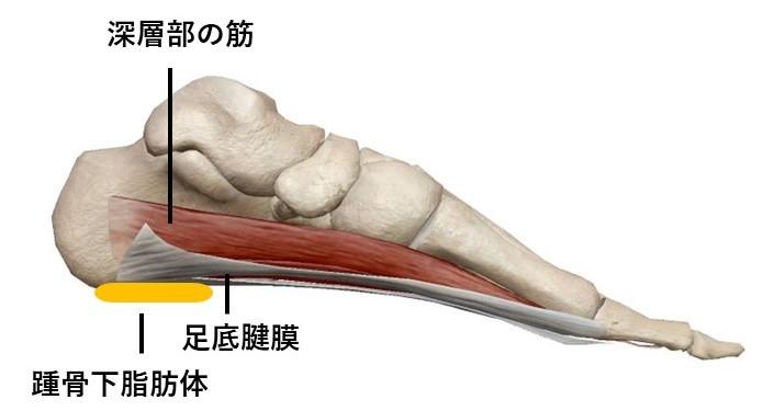 踵骨下脂肪体のイラスト