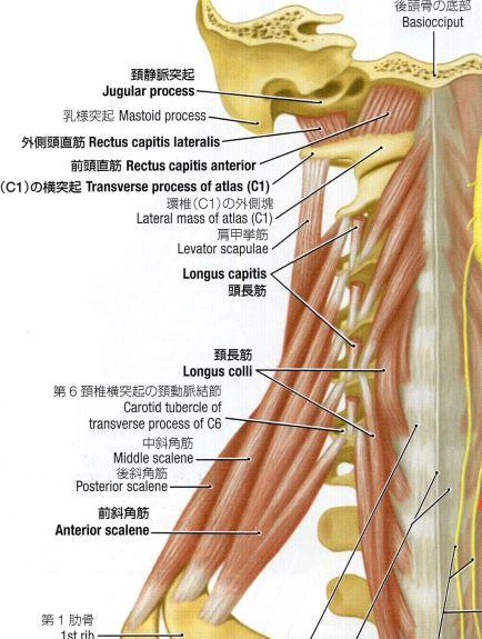 頚椎前面の筋のイラスト