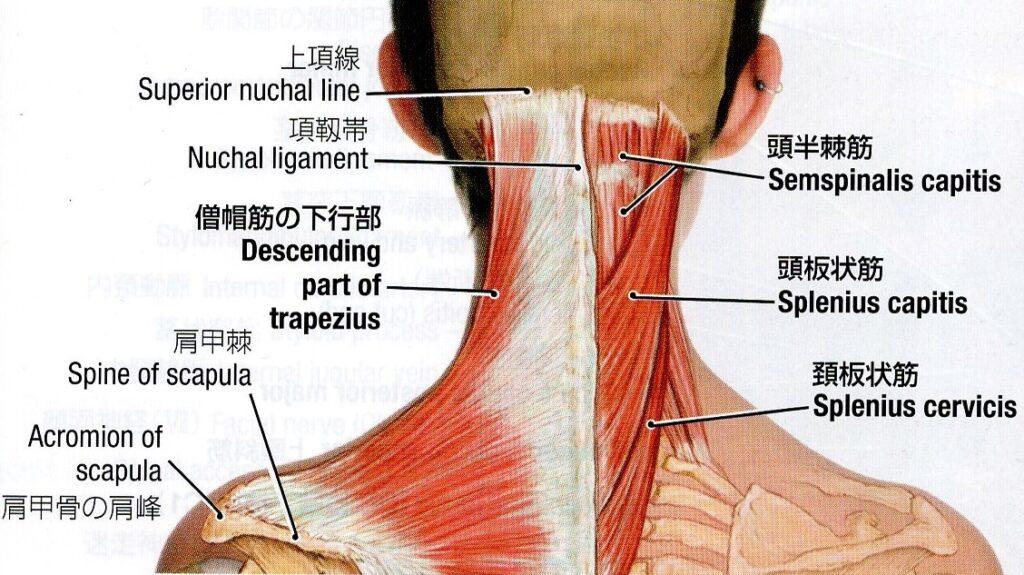 頚椎後面の表層筋のイラスト