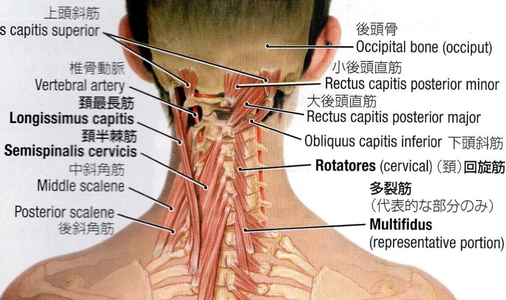 頚椎後面の深層筋のイラスト