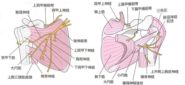 肩周囲の神経支配のイラスト