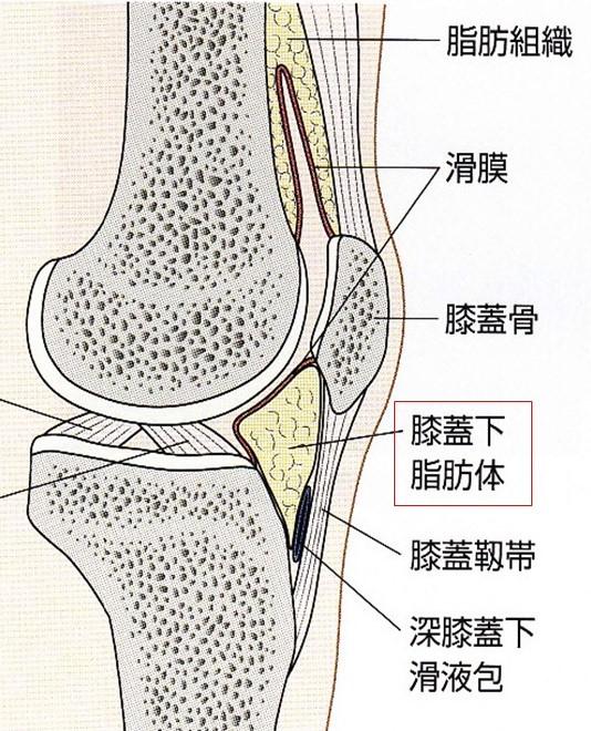 膝蓋下脂肪体のイラスト