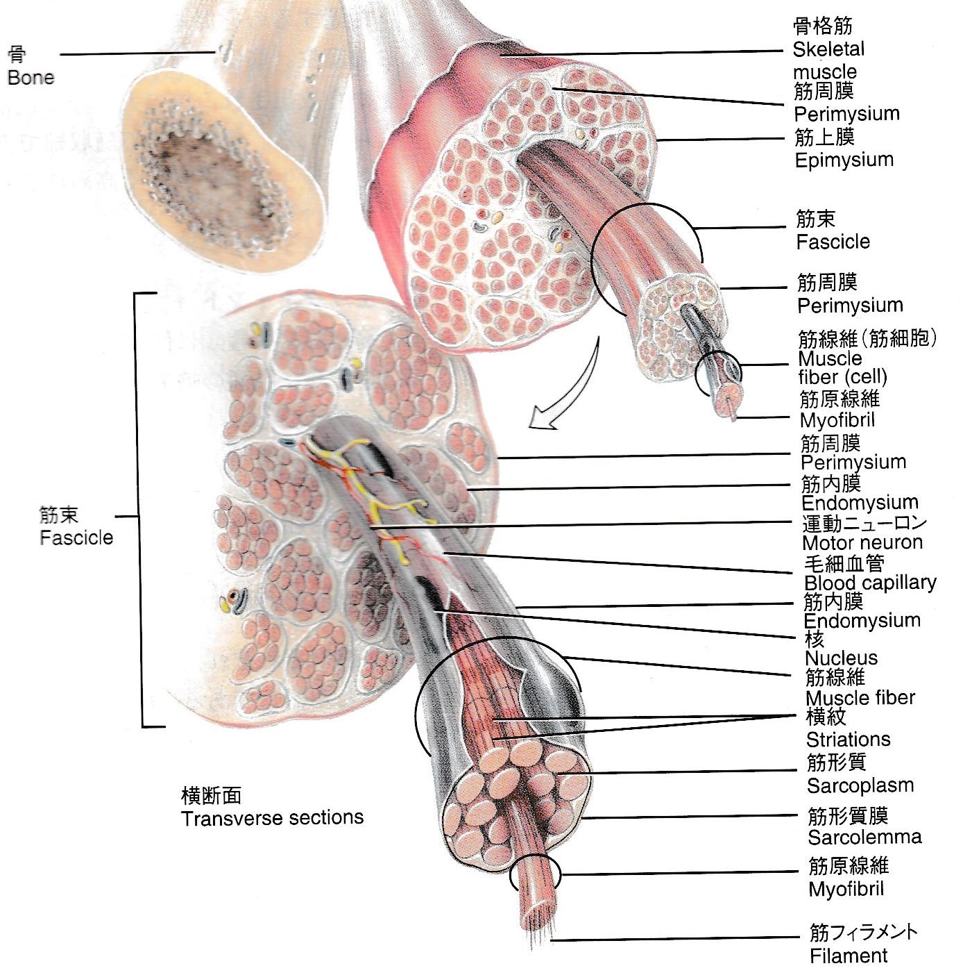筋線維の解剖イラスト