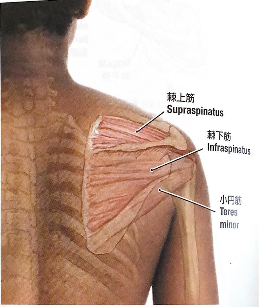 棘下筋と小円筋の解剖イラスト