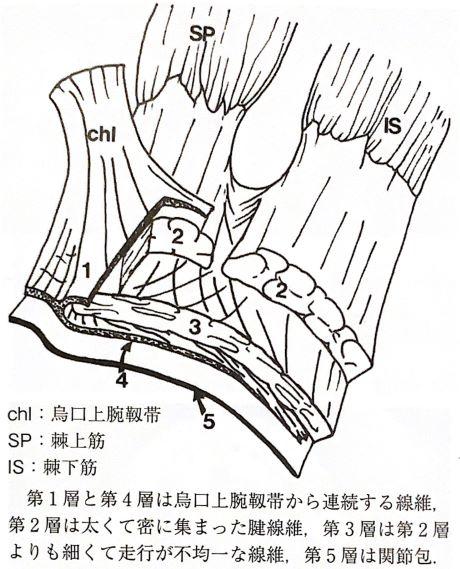 腱板の解剖イラスト
